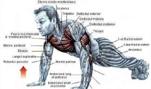flotari, grupe de muschi lucrate cu flotari; pushups, pushups muscle groups working with