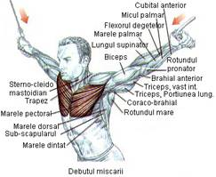 grupe muschi piept, spate, brate; hest muscles, back muscles, arm muscles