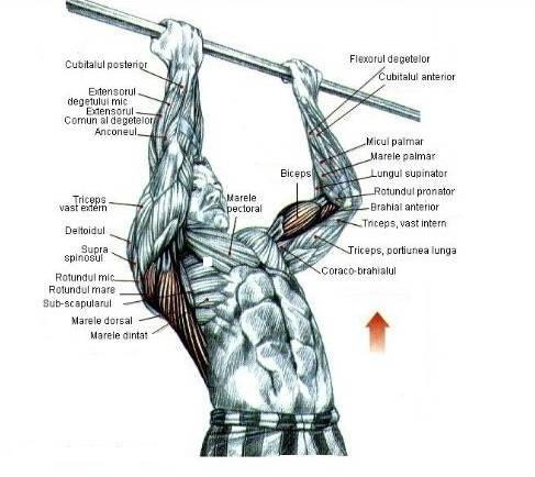 tractiuni la bara cu priza inversa, ce muschi lucreaza; tractions to bar reverse grip, the muscles are working;